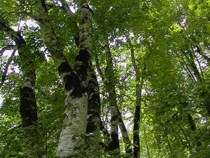 カヤの平高原のブナ林