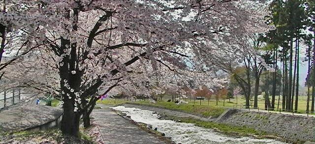 木島平村の桜、ケヤキの森公園